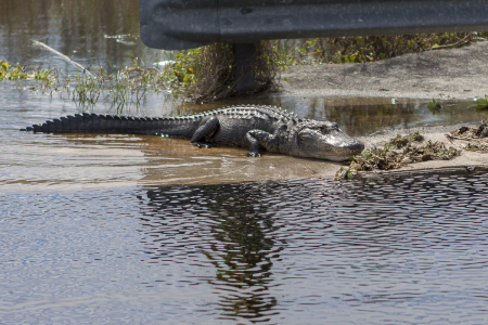 Een aligator in de Everglades